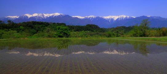 駒ヶ根市中沢から望む水田に映える西駒ヶ岳