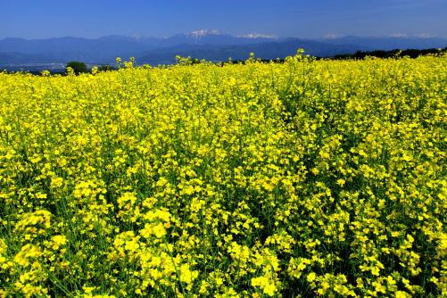伊那市西箕輪の菜の花畑から望む南アルプス