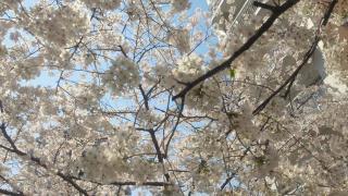 AMANA前の桜1