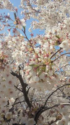 AMANA前の桜2