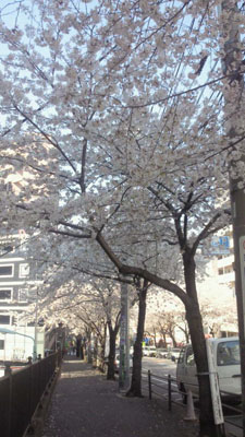 AMANA前の桜3
