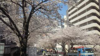 AMANA前の桜4