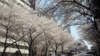 AMANA前の桜5