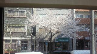 AMANA前の桜6