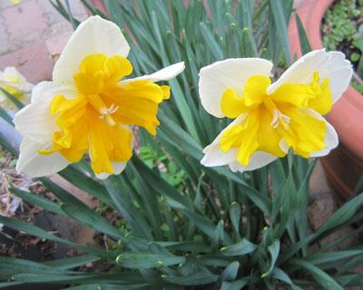 バタフライ咲き