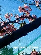 13年早咲き桜