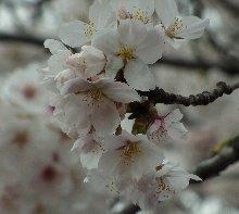 13年桜2