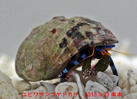 ユビワサンゴヤドカリ