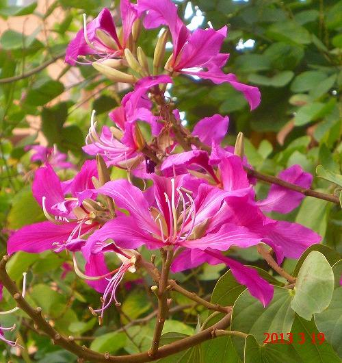 台湾艶紫荊