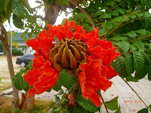台湾木綿の花