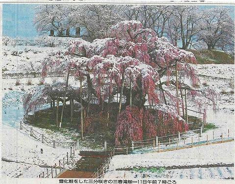 滝桜130411