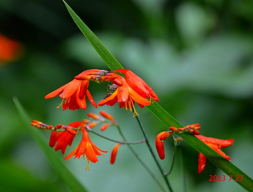 s-130727赤い花