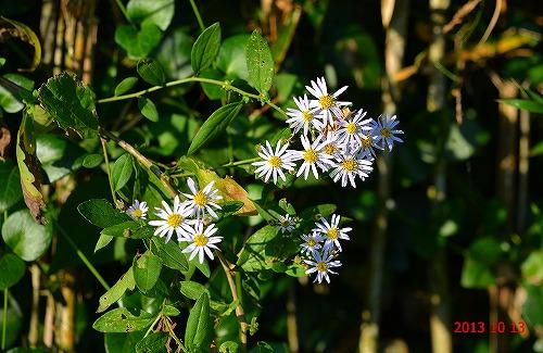 s-白い花131013