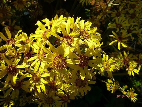 s-黄色の花20131102