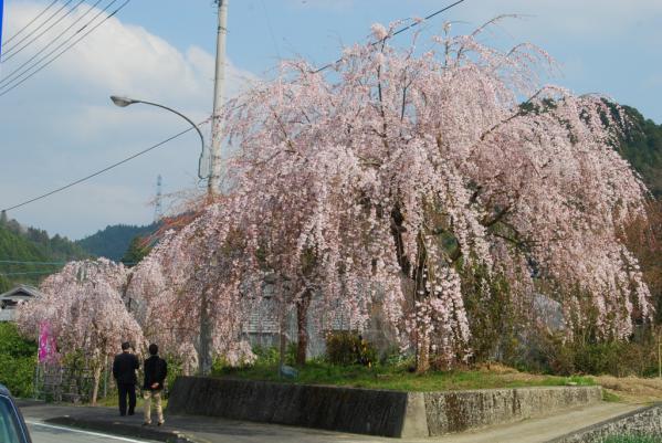 おろの桜1