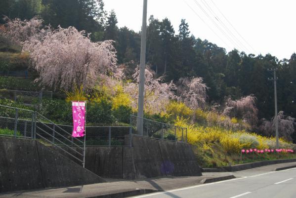 おろの桜2