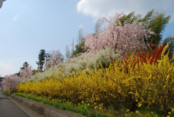 おろの桜3