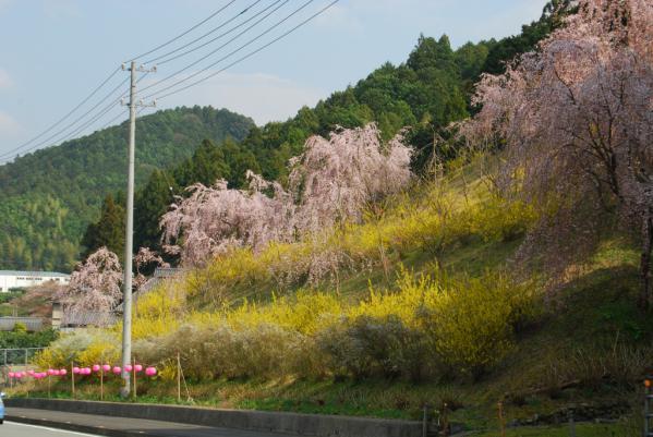 おろの桜4
