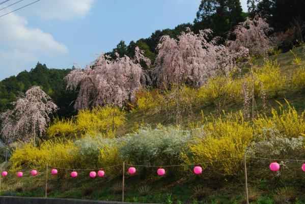 おろの桜6