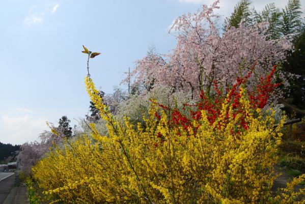 おろの桜5