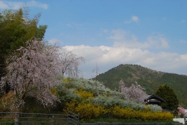 おろの桜7