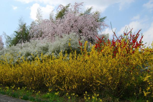 おろの桜8