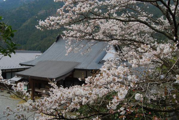 西光寺の桜1