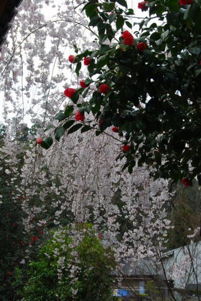 西光寺の桜2