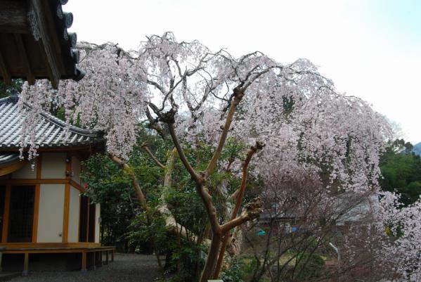 西光寺の桜3