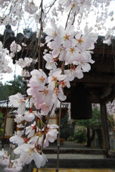 西光寺の桜4