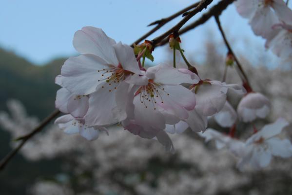 西光寺の桜5