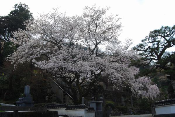 西光寺の桜6