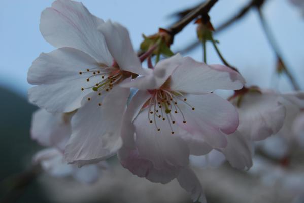 西光寺の桜7