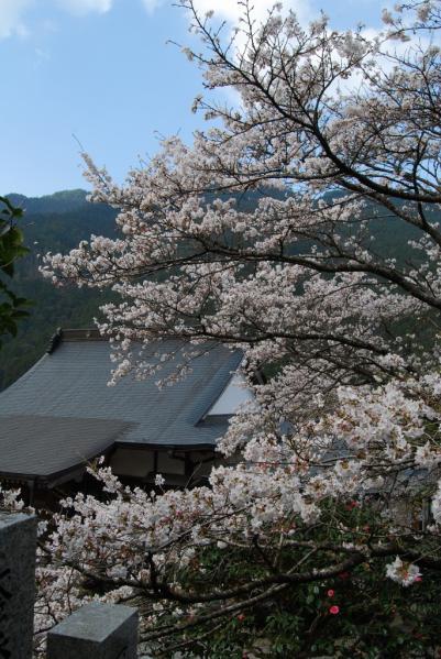 西光寺の桜8