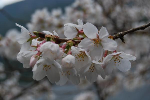 西光寺の桜9