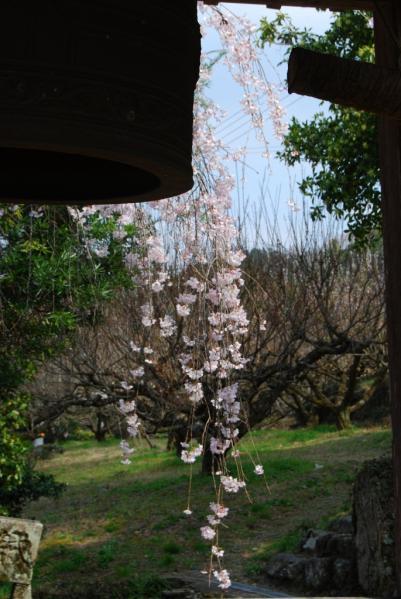西光寺の桜10
