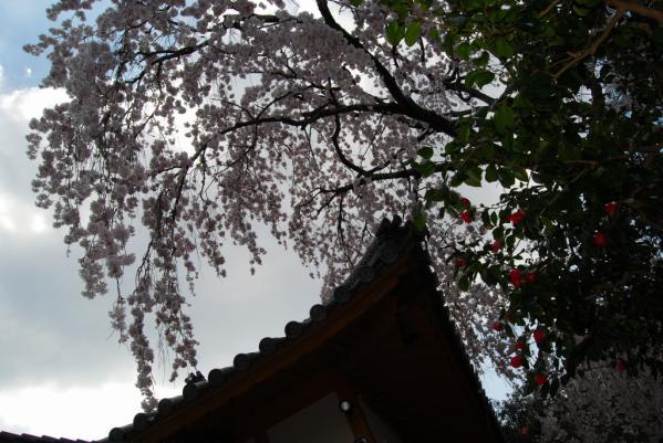西光寺の桜11
