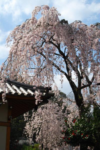 西光寺の桜12