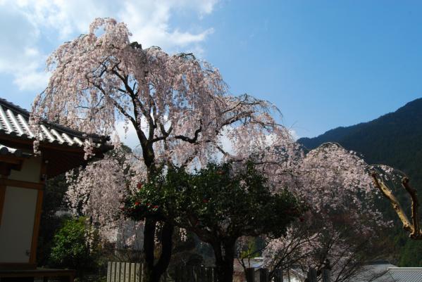 西光寺の桜13