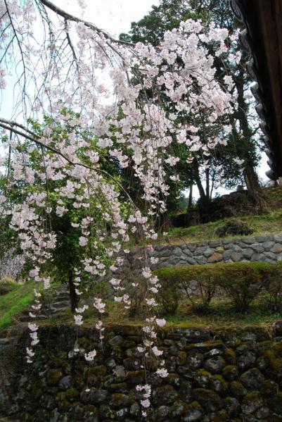 西光寺の桜14