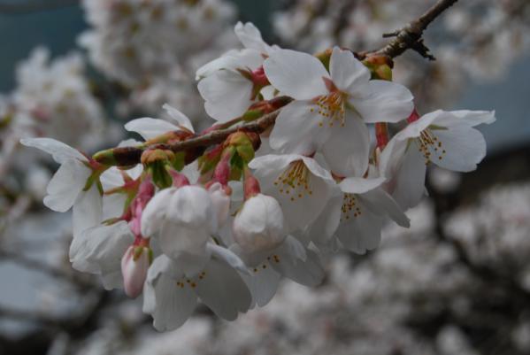 西光寺の桜15