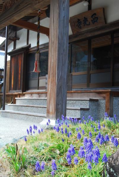 西光寺の桜16