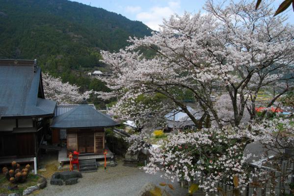 西光寺の桜17