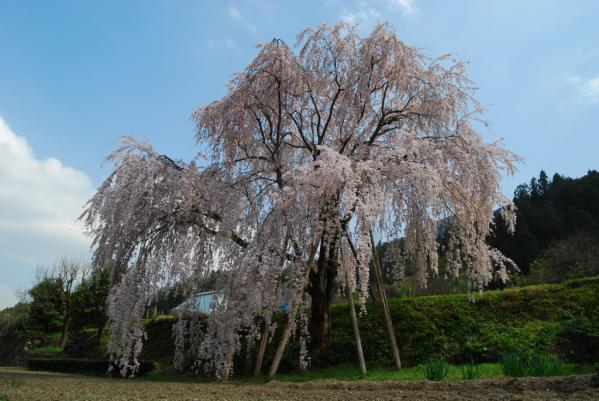 西光寺の桜18