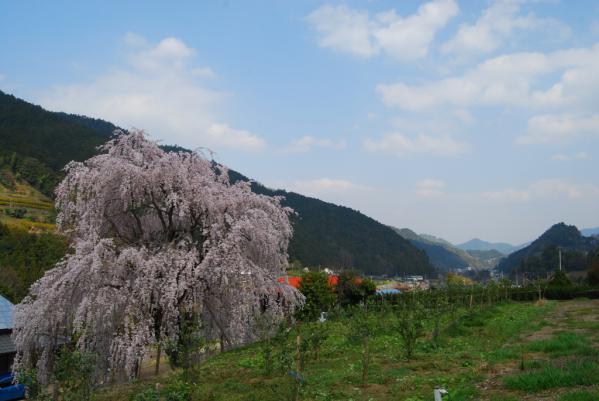 西光寺の桜20
