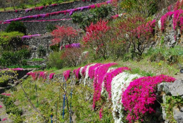 高開の芝桜4