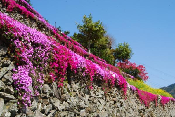 高開の芝桜7