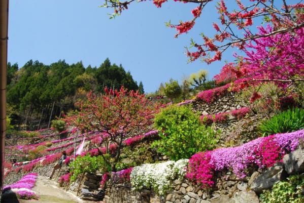 高開の芝桜8