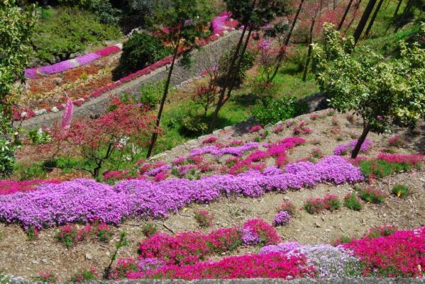 高開の芝桜13