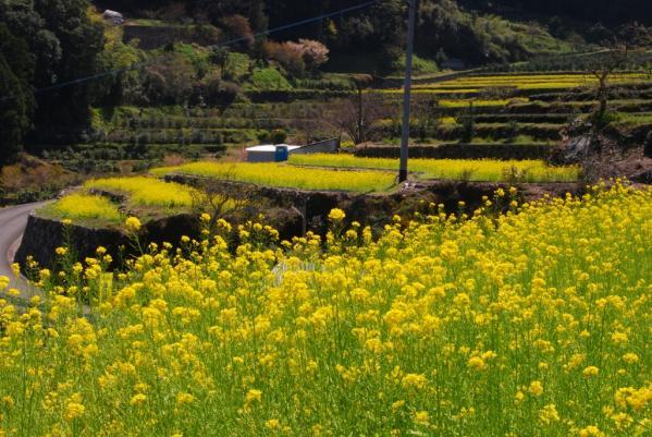 江田の菜の花1